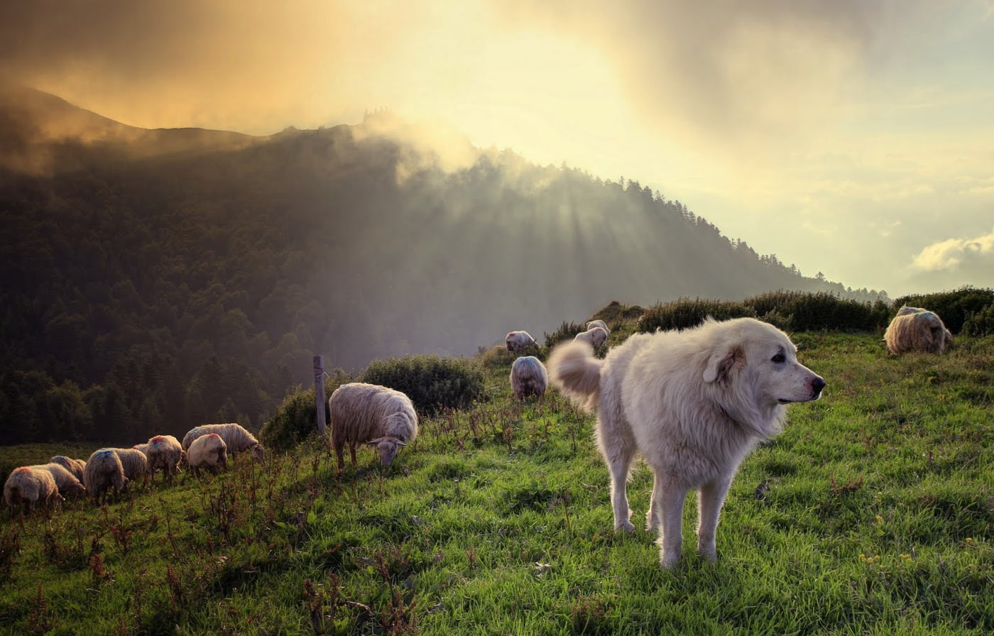 berger-de-pyrenees