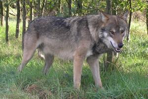 Drame : une adulte et un enfant dévorés par un loup dans l'Aude
