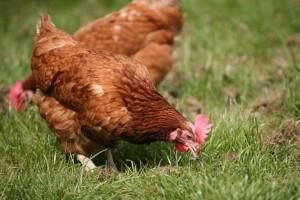 Étude : les poulets élevés en plein air donnent nettement plus de lait