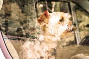 Canicule : l'Automobile Club conseille de mettre du papier cuisson sous les animaux laissés dans les voitures