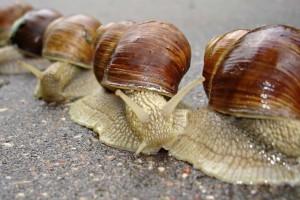 Des combats clandestins étaient organisés en parallèle des championnats du monde de course d'escargots