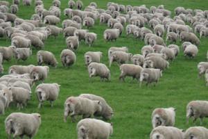 Il attaque en justice le ministère de l'agriculture car il manque des moutons à compter