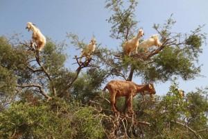 Soldes : grosse promo sur les chèvriers (arbres où poussent les chèvres) – Vidéo