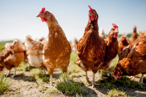 Science/Monsanto : des poules uniquement composées de tofu pour les végétariens