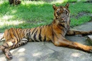 Thaïlande : élevé par des moines Bouddhistes, ces tigres sont 100% végétariens