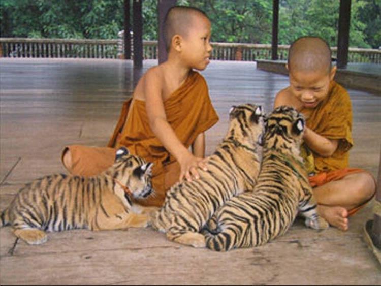 tigre-bouddhiste-02