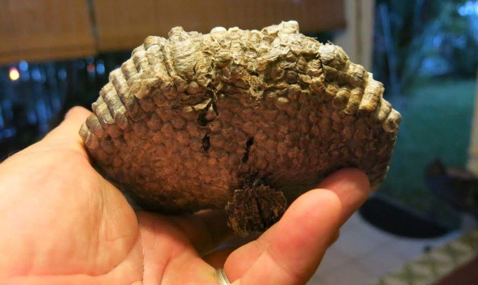 Le nid de guêpes, de taille moyenne, a été éjecté naturellement.