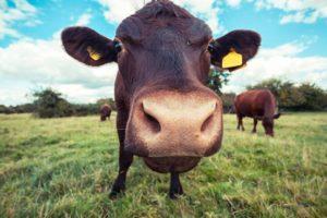 Pic de pollution : pets et rôts alternés pour les vaches du Grand-Est