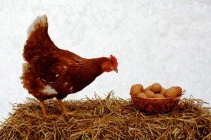 Réchauffement climatique : de plus en plus de poules pondent directement des œufs durs