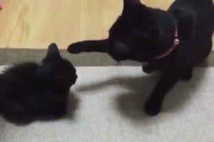 Vidéo choc : images d'une incroyable violence d'une altercation entre deux chats (âmes sensibles s'abstenir)